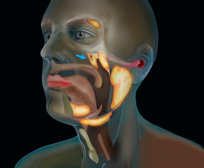 Mėlyna rodykle pažymėta vieta, kur turėtų būti numanomas naujai atrastas organas – trimito liaukos