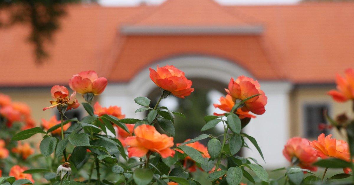1 greitas triukas ir jūsų rožynas atrodys kaip iš pasakos: žavėsis visi | virtualiosstatybos.lt