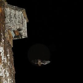 Nerijaus Žitkevičiaus nuotr./Šiame inkile gyvena 61 šikšnosparnis