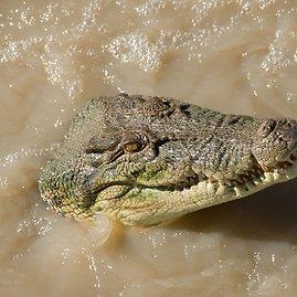 Krokodilas upėje