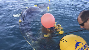 Per sielvartą keliančią gelbėjimo operaciją iš ryklio tinklo išlaisvintas banginio jauniklis