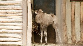 Zoologijos sodo gimtadienyje – kupranugario vardo rinkimai
