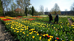 Kauno botanikos sode – tulpių žydėjimo metas