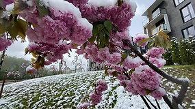 Gamta nesiliauja stebinti: pavasarinis sniegas papuošė sostinę