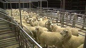 Naujojoje Zelandijoje prasidėjo 40-asis pasaulio avių kirpimo čempionatas