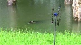 Teksase per potvynį į moters kiemą atklydo du aligatoriai