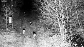 Palei sieną su Baltarusija Lietuvos pusėje patruliuoja septynių vilkų gauja