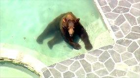 Linksmas vaizdelis: Los Andželo karščių išvarginta meška baseine surengė maudynes