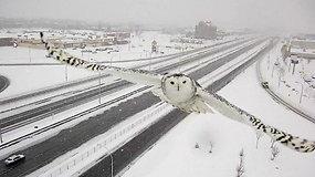 Kamera užfiksavo retą vaizdą - baltosios pelėdos skrydį