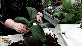 Orchidėjų priežiūra: Falenopsis