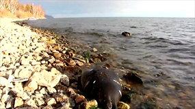 Mįslė mokslininkams: kodėl masiškai gaišta Baikalo ežero ruoniai?