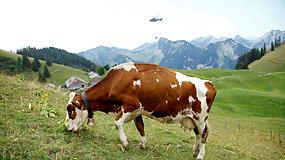 Sraigtasparniai ir karvės: Šveicarija kovoja su sausra