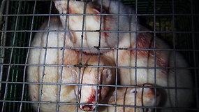"""Organizacija """"Tušti narvai"""" patikrino žvėrelių fermas: rado sužalotų audinių"""