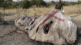 Neįtikėtini brakonieriavimo mastai: Botsvanoje nugalabyti 87 drambliai