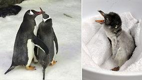 Sencacija tapusi vienalytė pingvinų patinų pora sėkmingai išperėjo jauniklį