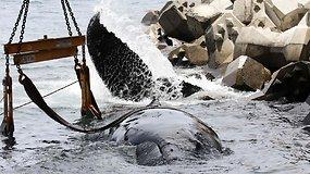Liūdnai pasibaigusi gelbėjimo operacija: gelbėtojai nespėjo išgelbėti įstrigusio jauno banginio