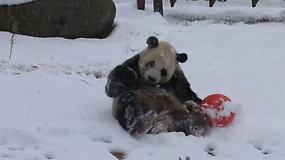 Pirmasis sniegas nustebino ne tik Lietuvą – ankstyva žiema džiaugėsi ir pandos Kinijoje