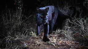Užfiksuota nepaprastai reta juodoji pantera – tokią pavyko sutikti tik kartą per šimtą metų