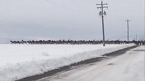 Užburiantis vaizdas: kelią perbėgo šimtai elnių