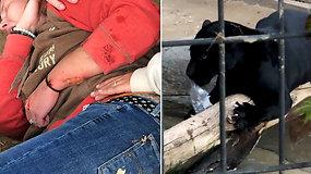 Šiurpi asmenukės kaina: jaguaras užpuolė taisyklių nepaisiusią moterį
