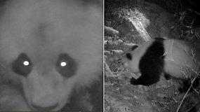 Kuriozinis nusikaltimas su neįtikėtinu įtariamuoju: kameros užfiksavo pandą-vagilę