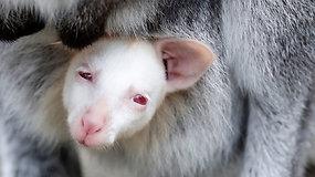 Albinosai laukinėje gamtoje išgyvena retai – šis su genų mutacija gimęs valabis šansą turi