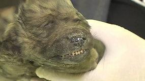 """Sibire rastas sušalęs 18 tūkst. m. senumo """"šuo"""" suglumino mokslininkus – bandys atskleisti paslaptį"""
