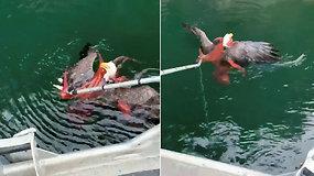 Tokios neįprastos dvikovos žvejai dar nebuvo matę – bandė atsikąsti daugiau nei galėjo praryti