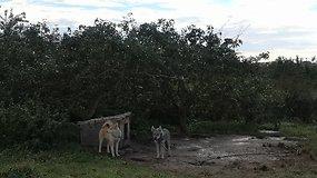 Į nelegalų veislyną Kėdainių rajone atvyko nepriklausomi veterinarai: sprendžiama, ar šunys bus paimti iš šeimininko