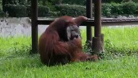 Indonezijos zoologijos sode – rūkantis orangutanas