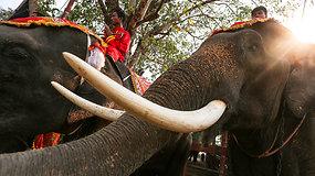Dramblių šventė Tailande – jiems iškelta vaisių puota