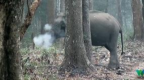 """Indijos miškuose nufilmuotas """"rūkantis"""" dramblys"""