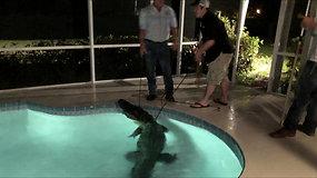 Netikėtas svečias – šeimos baseine plaukiojo milžiniškas aligatorius