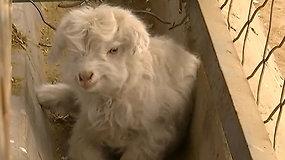 Pirmasis pasaulyje ultrasomatinėmis ląstelėmis klonuotas ožys tapo tėvu