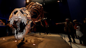 67 mln. metų vienintelis originalią kaukolę turintis tiranozauro skeletas eksponuojamas Paryžiuje
