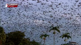 Šimtai tūkstančių šikšnosparnių užplūdo Australijos miestą