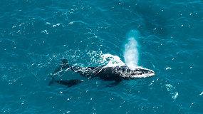Turistai džiaugėsi įspūdingu reginiu: užfiksavo žaismingą banginį, priplaukusį prie pat valties