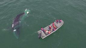 Aktyvistams teko paplušėti, kol išlaisvino į nelegalius  brakonieirų tinklus įsipainiojusį banginį