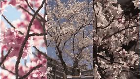 Pasigrožėkite bundančiu pavasariu: Japonijoje pražydo sakuros