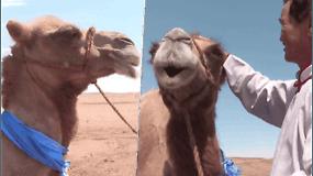 Stulbinanti gyvūno meilė: iš ilgesio kupranugaris nuėjo virš 100 km., kad sugrįžtų pas savo mylimą šeimininką
