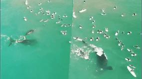 Banglentininkai ne juokais išsigando: staiga atplaukusi banginė kone ėmė versti juos į vandenį