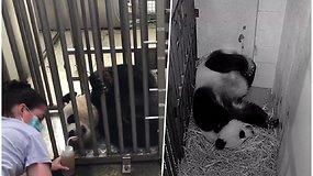 """Zoologijos sodas laukia """"karantininio stebuklo"""": dirbtinai apvaisinta panda laukiasi"""