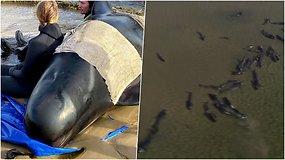 Ant seklumų įstrigo apie 270 banginių, trečdalis jų jau nugaišo – tai didžiausias skaičius per daugelį metų