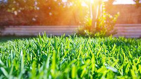 Sodininkas įspėja: veją šiuo metu puola rožinis pelėsis