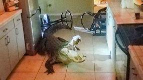 Virtuvėje rado staigmeną: naktį į namus įsibrovė milžiniškas aligatorius