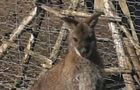 Lietuvoje pradingo dar viena kengūra: spėja, kad pavogė