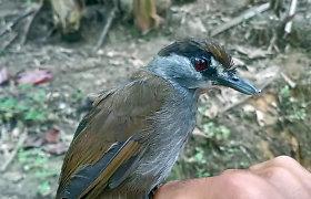 Indonezijos džiunglėse aptiktas retas paukštis, laikytas išnykusiu net 170 metų