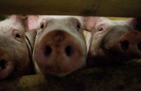 """Aplinkos ministerija aiškinsis, kas išdavė taršos leidimą Danijos kiaulių auginimo bendrovei """"Saerimner"""""""