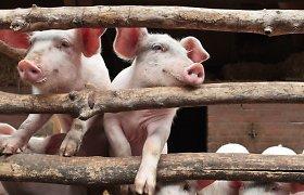 Dėl afrikinio kiaulių maro kiaulienos kainos ir toliau didės