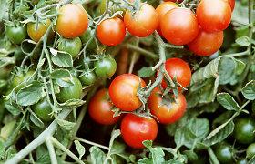 Pomidorų auginimas: kokie kenkėjai puola dažniausiai ir kaip jų atsikratyti